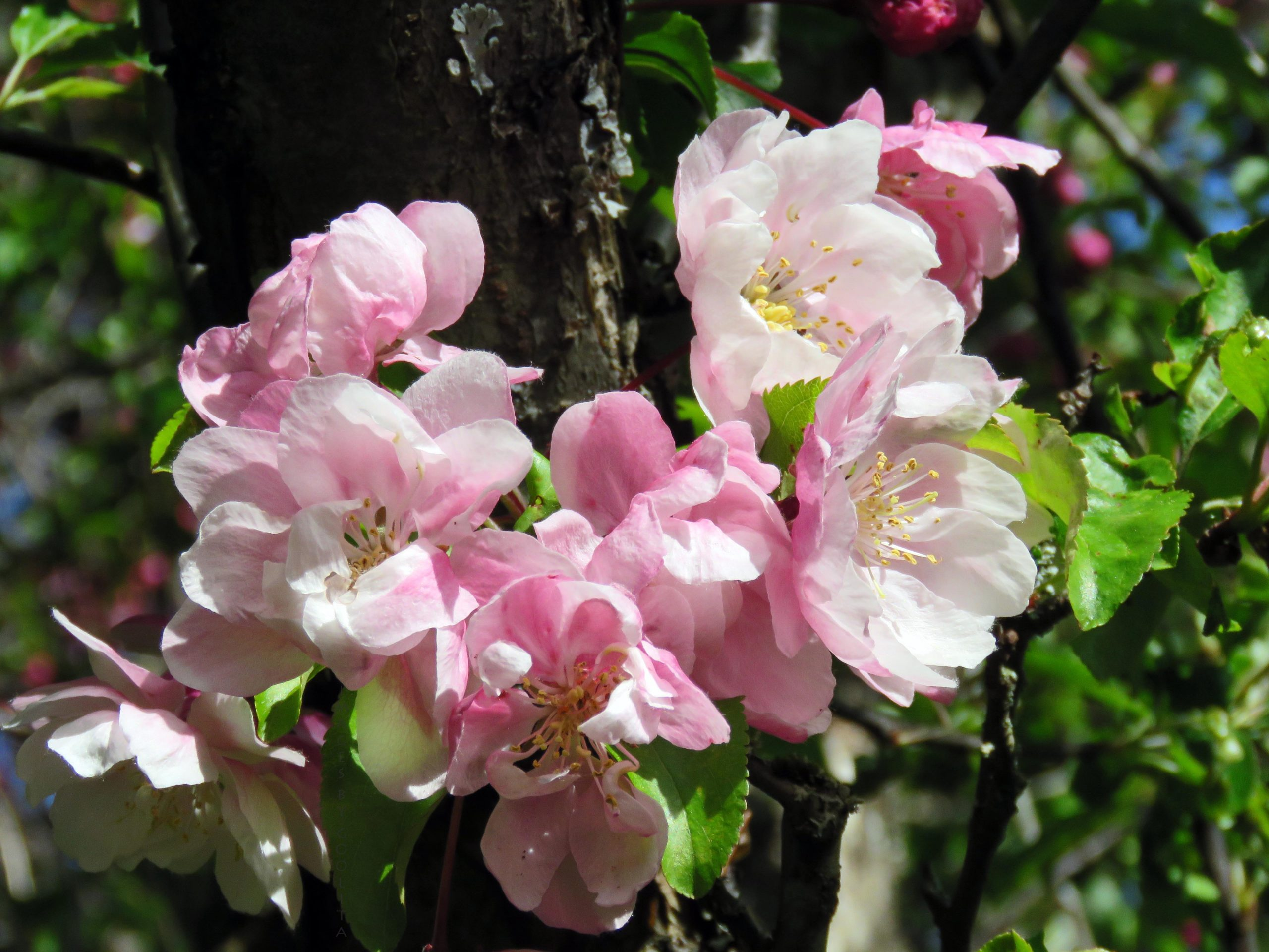 Hearts in Nature Crabapple Blossoms